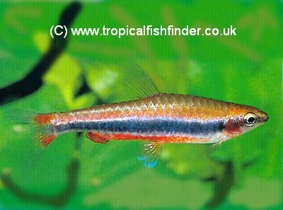 Golden Pencilfish  Nannostomus beckfordi