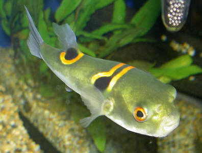 Takifugu ocellatus tropical fish forums for How much is a puffer fish