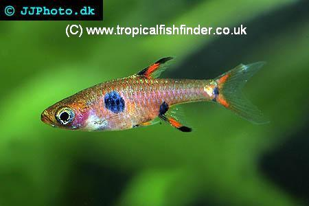 Tropical Fish Finder Co Uk The Ultimate Uk Fish Keeping Resource
