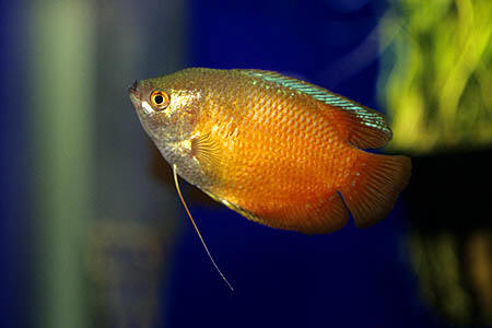 Tropical fish the ultimate uk fish keeping for Types of red fish