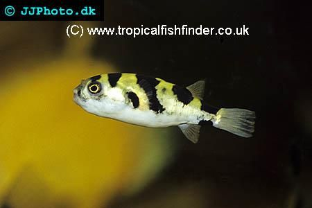 South American Puffer Amazon Puffer Colomesus asellus