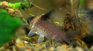 False Blochi  Corydoras delphax