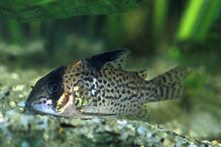 Buy 5 or more False Spotted Catfish Corydoras leucomelas and get 5% ...