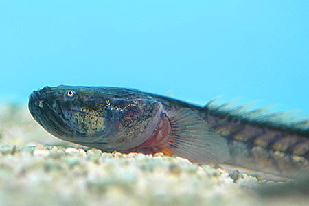 The Dragon Goby