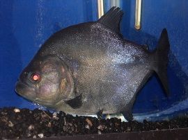Tropical Fish Finder co uk - The ultimate UK fish keeping resource