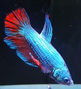 Assorted Male Siamese Fighting Fish Betta splendens