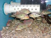 Geophagus tapajos sp. 'red head'