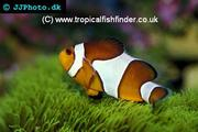 Keeping Nemo: Clownfish (Anemonefish)
