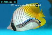 Butterflyfish for beginners