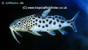 Synodontis multipunctatus on offer at Amwell Aquatics